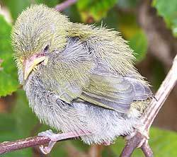 Immature Cape White Eye