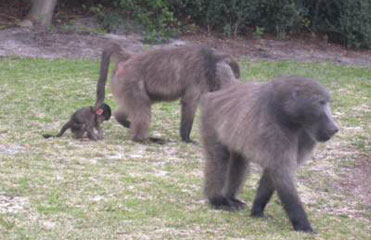 chacma baboons group