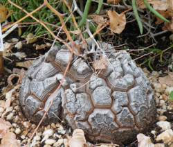 Elephants foot (Dioscorea elephantipes)