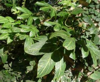 Diplocyclos_palmatus_leaves