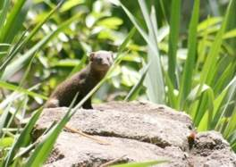 Dwarf Mongoose sentinel posted