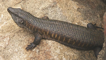 Giant Plated Lizard Sanbi