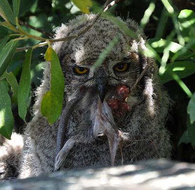 Spotted Eagle Owl Sanbi