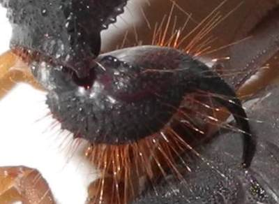 Sting of Parabus transvaalicus. Image M.Roppo