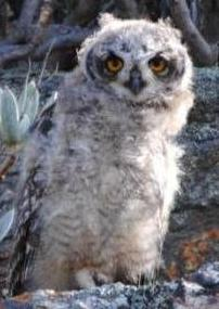 spotted_eagle_owl_chick2