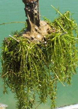 hydrilla verticillata sanbi