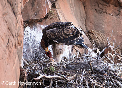 A Verreaux's Eagle chick eats in the nest