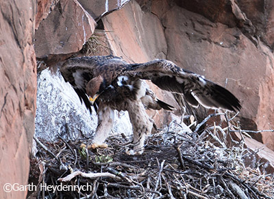 A Verreaux's Eagle chick opens its wings