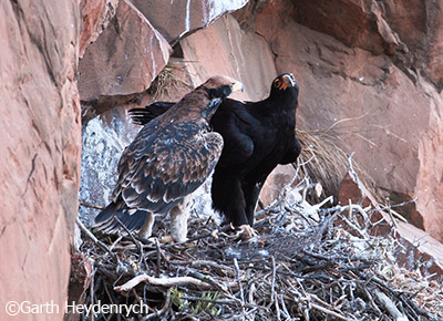 A Verreaux's Eagle watches a chick in their nest