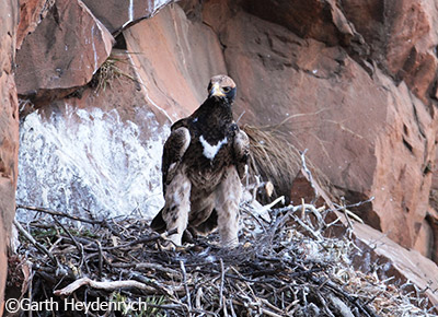68-day-old Verreaux's Eagle chick looks out from the nest