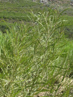 Acacia implexa