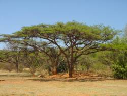 Acacia siebieriana var woodii