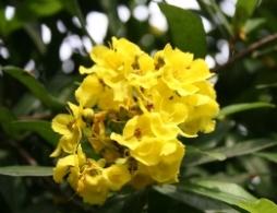 Acridocarpus natalitius