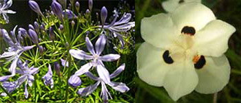 Agapanthus praecox and Dietes bicolor