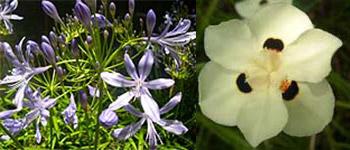 Agapanthus praecox and Dietes bicolor