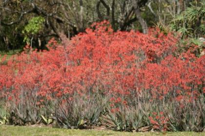 Aloes in full bloom
