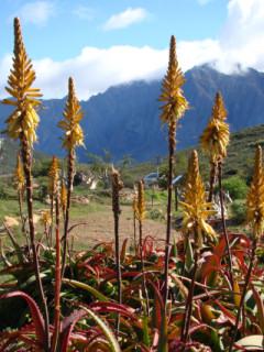 Van Balen's aloe, Aloe vanbalenii