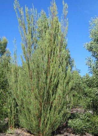 A. stricta tree