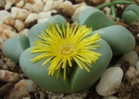 Argyroderma delaetii, stone plant