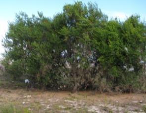 Banksia ericifolia cone