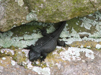 A pregnant black girdled lizard (Cordylus niger) on a rock slab at Cape Point Nature Reserve