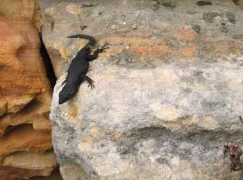 The black girdled lizard (Cordylus niger) – never venturing far from its rock crevice.