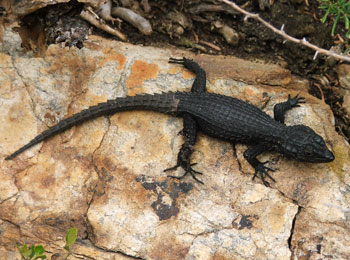 A black girdled lizard (Cordylus niger) busy scaling (note the tail).