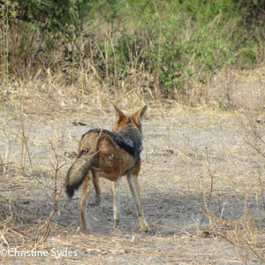 Black-backed jackal tail