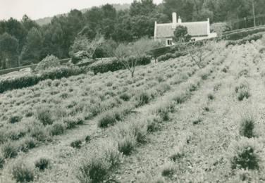 Kirstenbosch Buchu Beds 1946