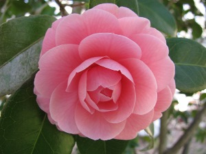Camellia section