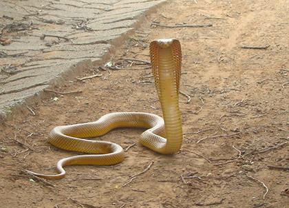 Cape Cobra Sanbi