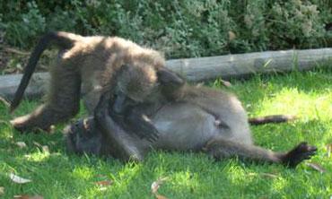 chacma baboons play