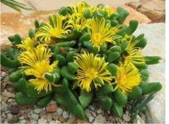 Glottiphyllum neilii
