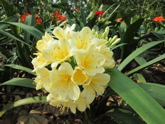 clivia in spring