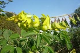 crotalariaagatiflora2