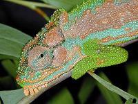 Cape Dwarf Chameleon-Bradypodion pumilum