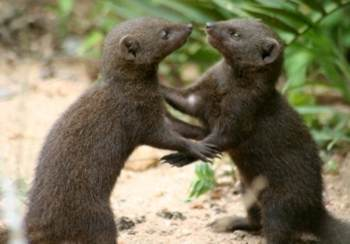 Dwarf Mongooses at play