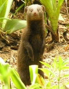 Dwarf Mongoose alert for danger