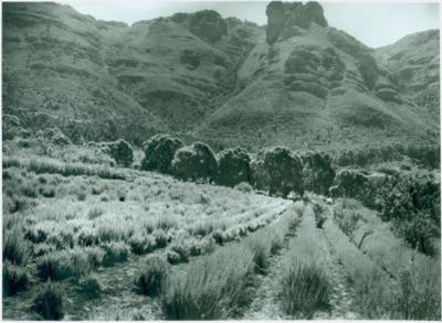Economic beds at KIrstenbosch early 1920s