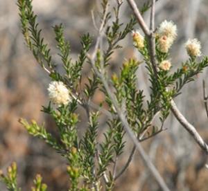 Melaleuca ericifolia flowers