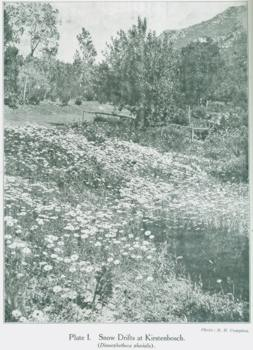 Spring flowers at Kirstenbosch 1925