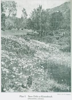 Spring flowers at Kirstenbosch 1925