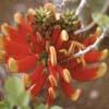 Erythrina acanthocarpa