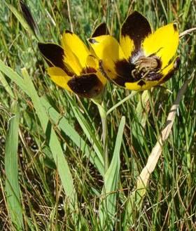 Hesperantha vaginata (perdeblom)