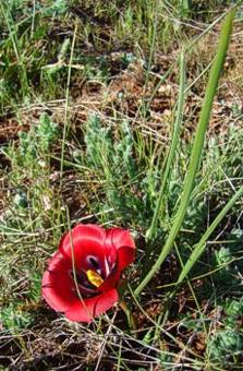 Romulea monadelpha (karoosatynblom)