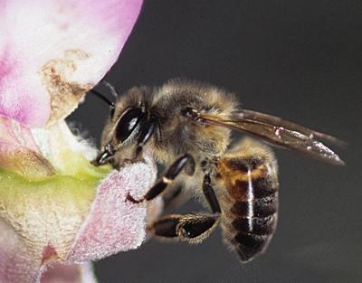 Apis Mellifera Capensis