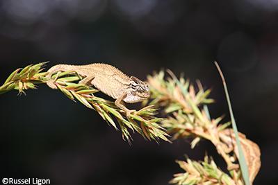 KwaZulu dwarf chameleon