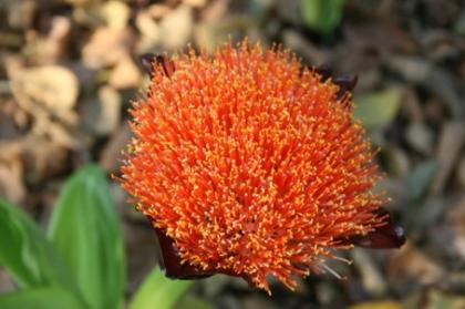 Scadoxus puniceus close up