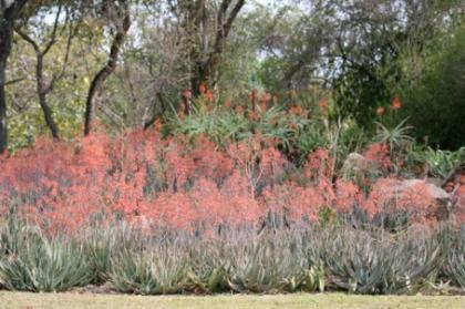 Dry Bushveld - Aloes