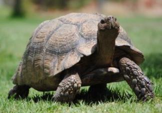 leopard_tortoise2